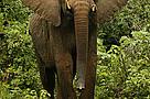 Elefantes_Mocambique