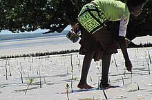 Plantio de mangal na Ilha de Quirimba