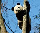 Giant Panda no longer endagered.