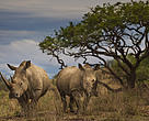 Rhinos in Kruger National Park.