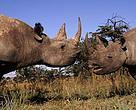 Recorde-se que a caça furtiva do ronoceronte atingiu novo recorde em 2014 na África do Sul, com cerca de 1215 animais mortos.