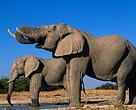 Elefantes vivos tem mais valor.